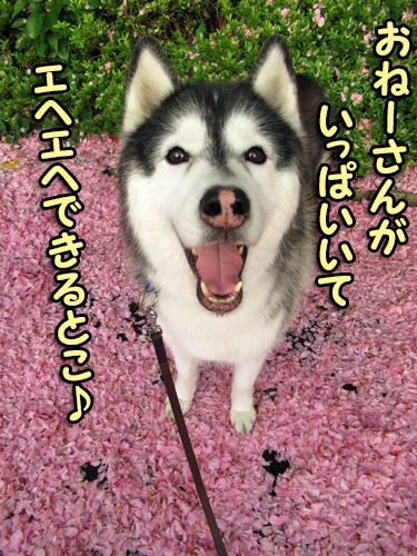 ぼたん桜とスフレ