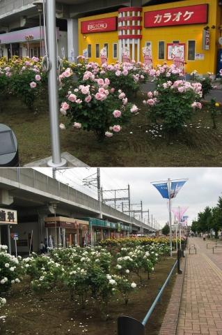 03与野本町駅周辺のバラ(連結その3)