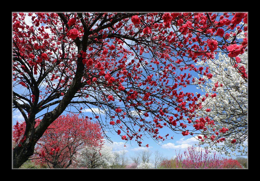 畑の中の花桃