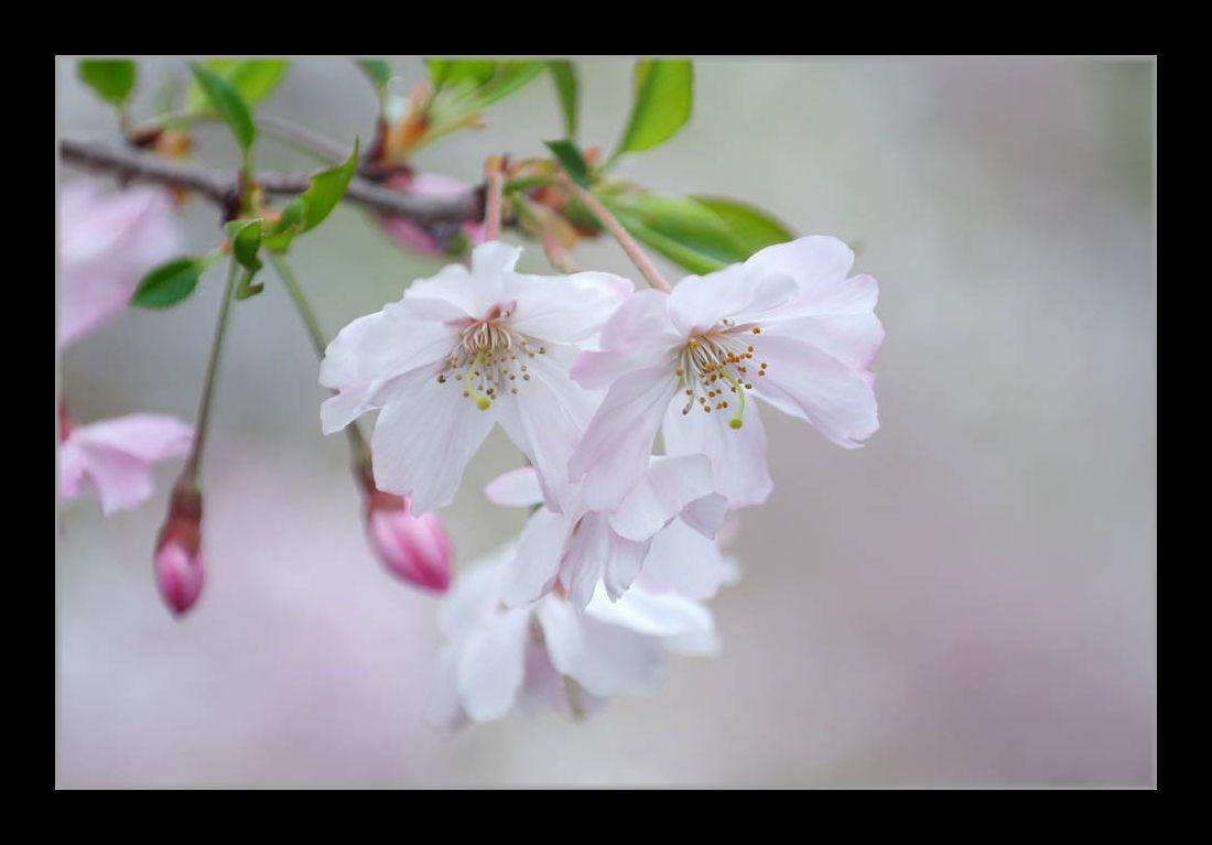 アップで桜