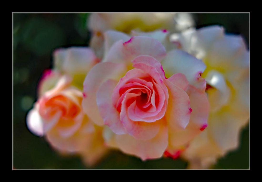 公園の薔薇