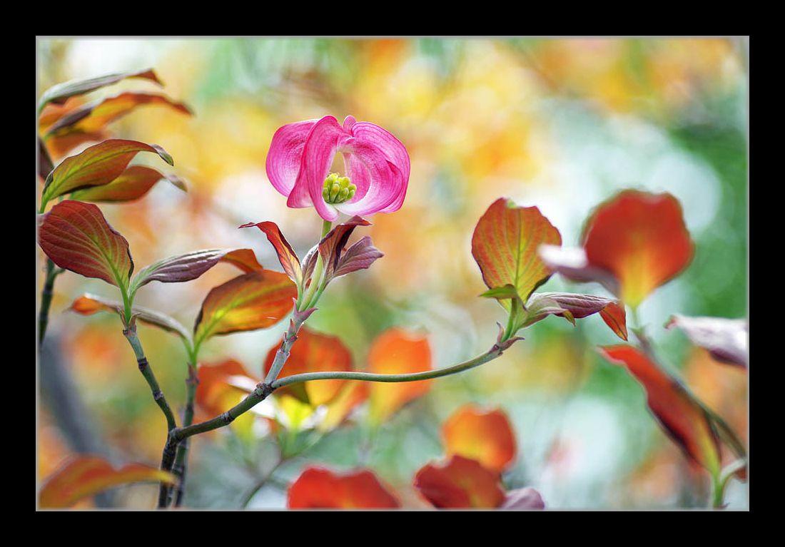 ピンクの花水木