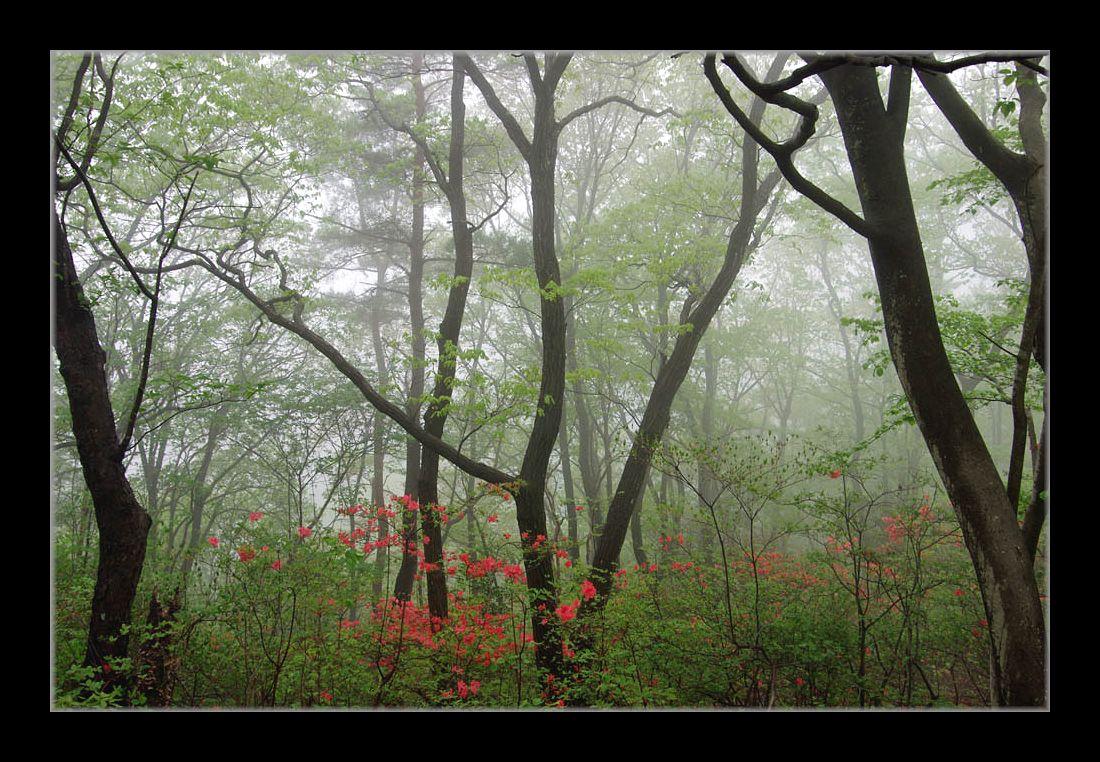 霧のヤマツツジ
