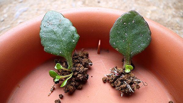 カランコエ葉の土挿し