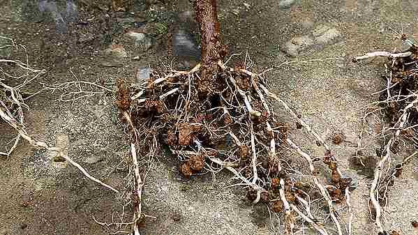 サルスベリの土挿し