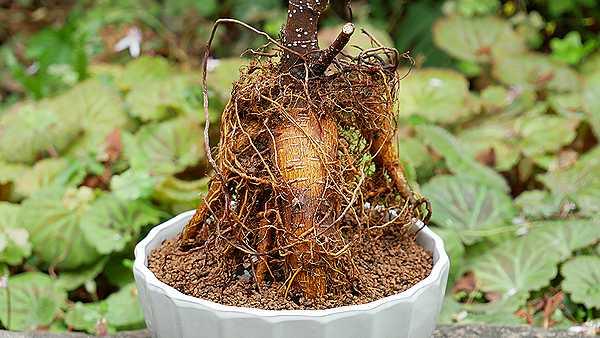 ガジュマルの根1