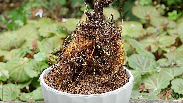 ガジュマルの根2