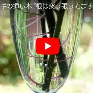 ヤナギ挿し木の動画