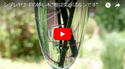 シダレヤナギの挿し木苗動画