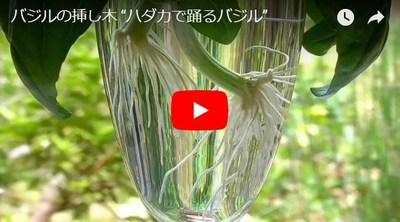 バジルの挿し木苗動画
