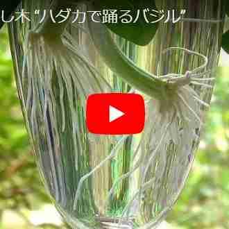 バジル挿し木の動画