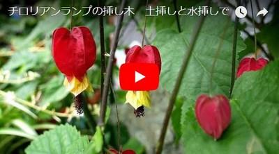 チロリアンランプの挿し木動画