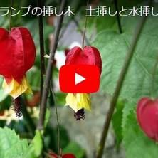 チロリアンランプ挿し木の動画