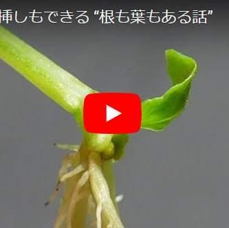 バジル葉挿しの動画