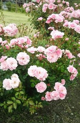 rose_20190613145732ca8.jpg