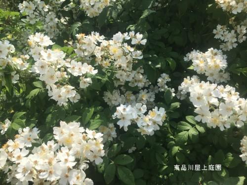2019harubara nobara