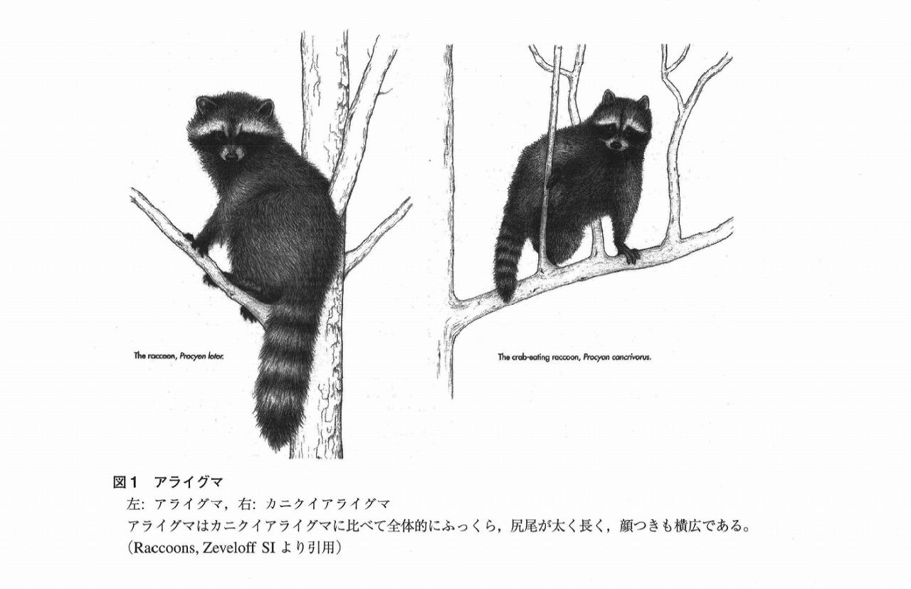 アライグマ属2種①
