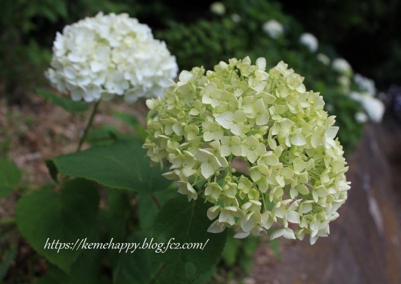 白緑のアジサイ