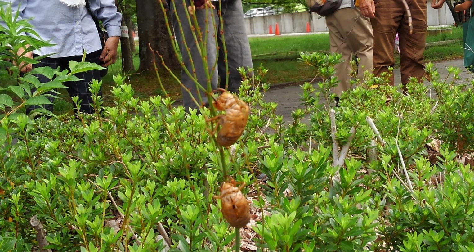 クマゼミ草のぼり