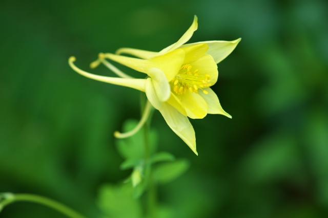 Aquilegia chrysantha 'Denver Gold'(アキレギア クリサンタ 'デンバー ゴールド')