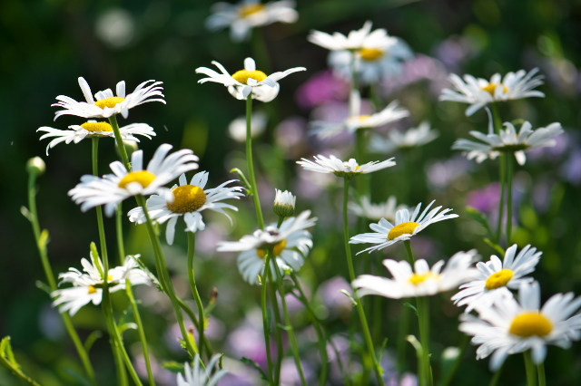 フランス菊の有終の美