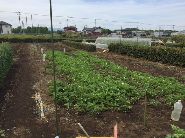 イチゴ畑を守る釣り糸(上の方)