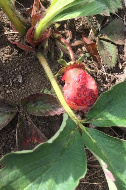 イチゴの食害