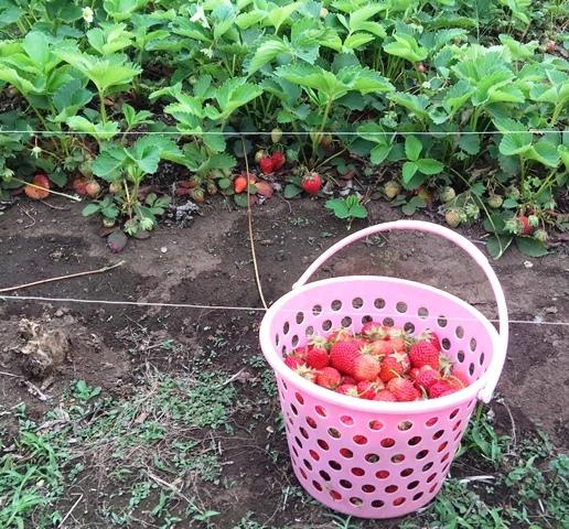 イチゴの収穫1,5kg