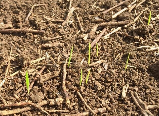 陸稲の発芽