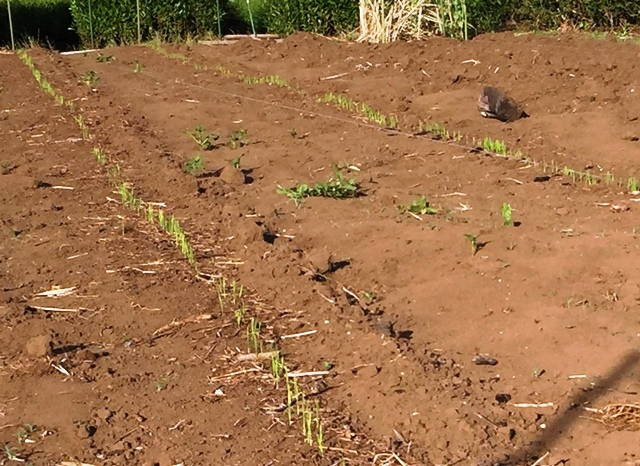 陸稲の発芽1