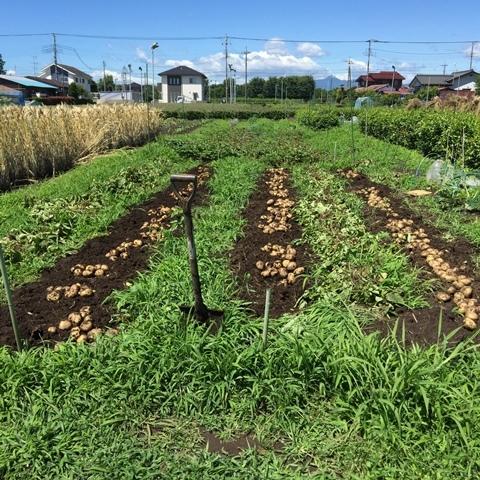 掘りだしたジャガイモの天日干し