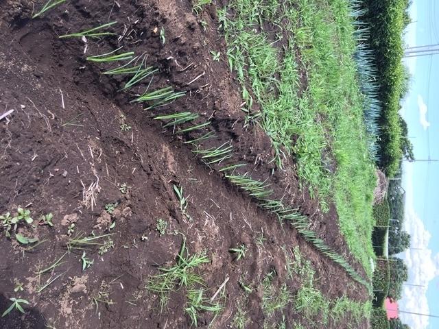 ネギ苗の植え付け約500株
