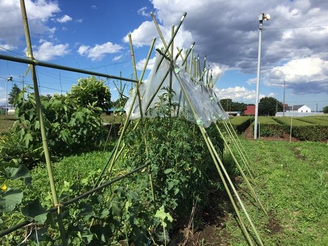 トマトの雨除け