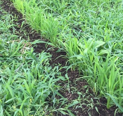 陸稲周りの草取り