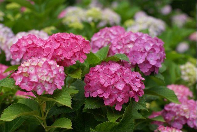 雨に濡れてる紫陽花