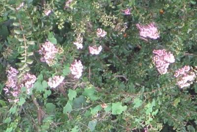 桜丘公園の百日紅