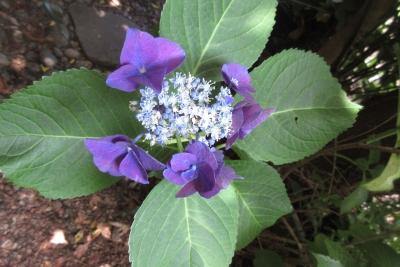 2019年6月118日の紫陽花