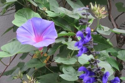 7月の選対事務所脇の紫花