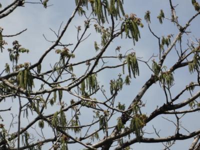 5月の風に揺れるくるみの花