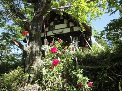 山小屋にバラが咲いた