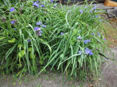 6月庭の露草
