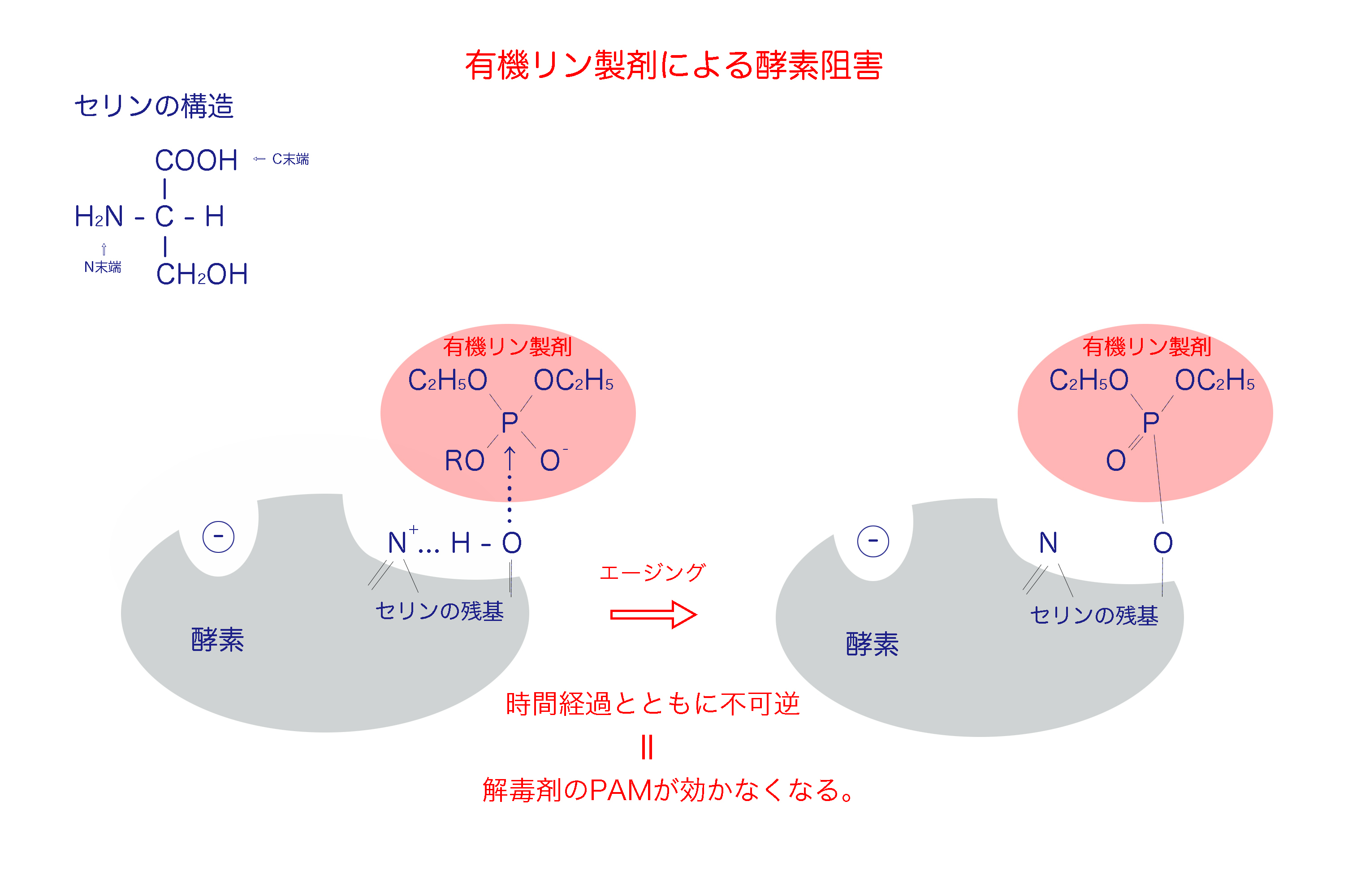 有機リン製剤による不可逆的酵素阻害 - 農薬・殺虫剤
