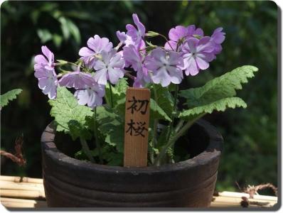 mini_7712_hatuzakura_P4180937.jpg