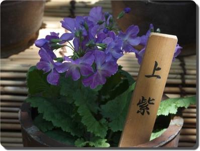 mini_7714_uemurasaki_P4180944.jpg