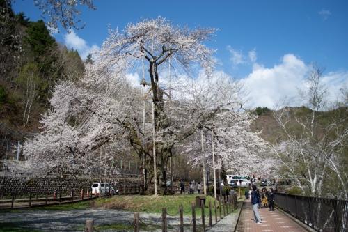 満開の荘川桜 (2019年5月2日)
