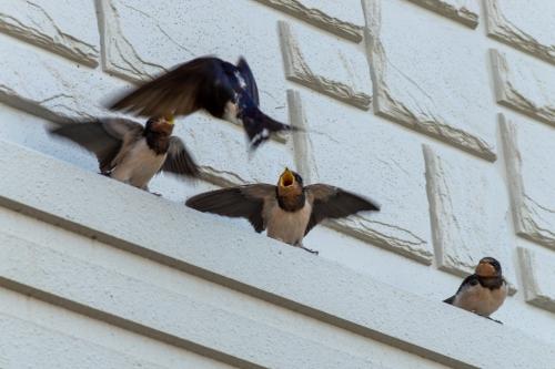 ツバメの雛と親鳥