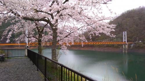 九頭竜湖の箱ケ瀬橋(夢のかけ橋)と桜 (2019/04/26)