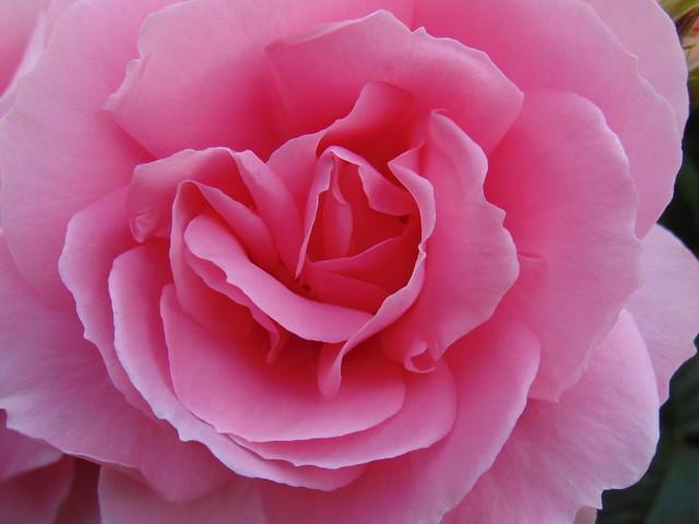 Pink rose at rose gardens