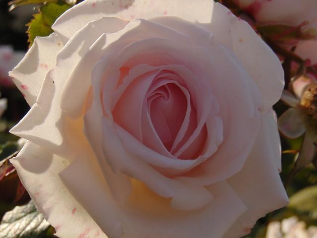 White rose at rose gardens