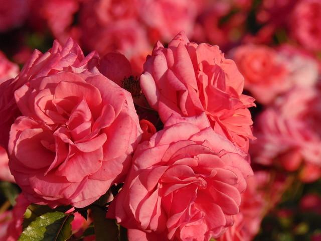 Free spirit at rose gardens